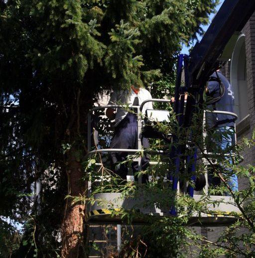 boom-snoeien-in-krappe-ruimte-7-4